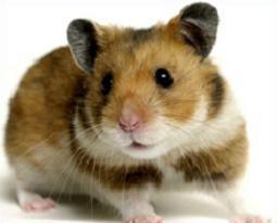 Tags: Hamster, mammals