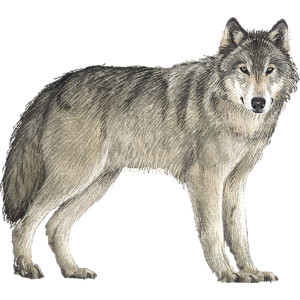 Timber Wolf clipart .