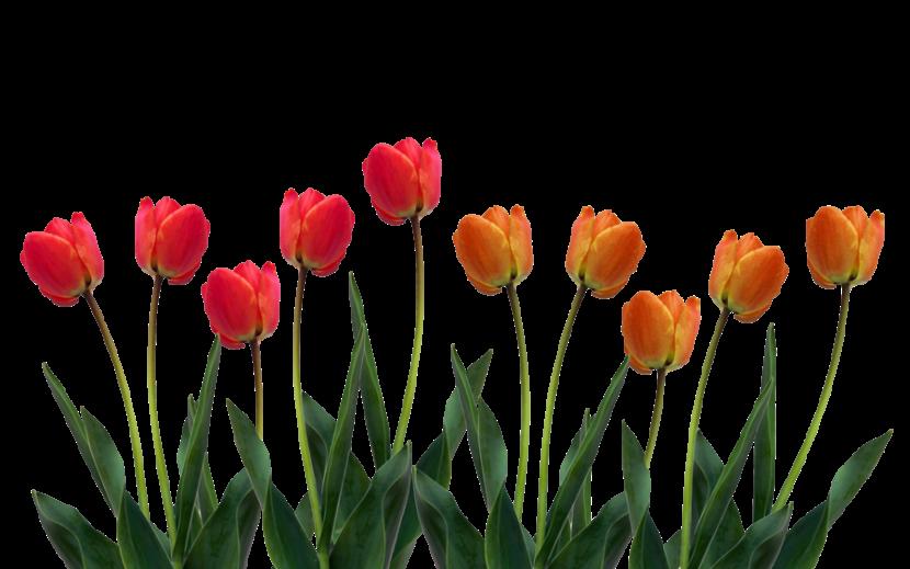 Tulip clipart 4