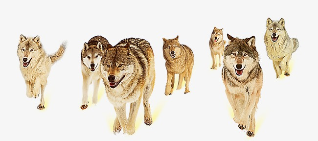 wolf, Wolf Clipart, Wolves PNG Image and Clipart