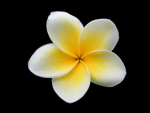 Yellow Plumeria Clipart