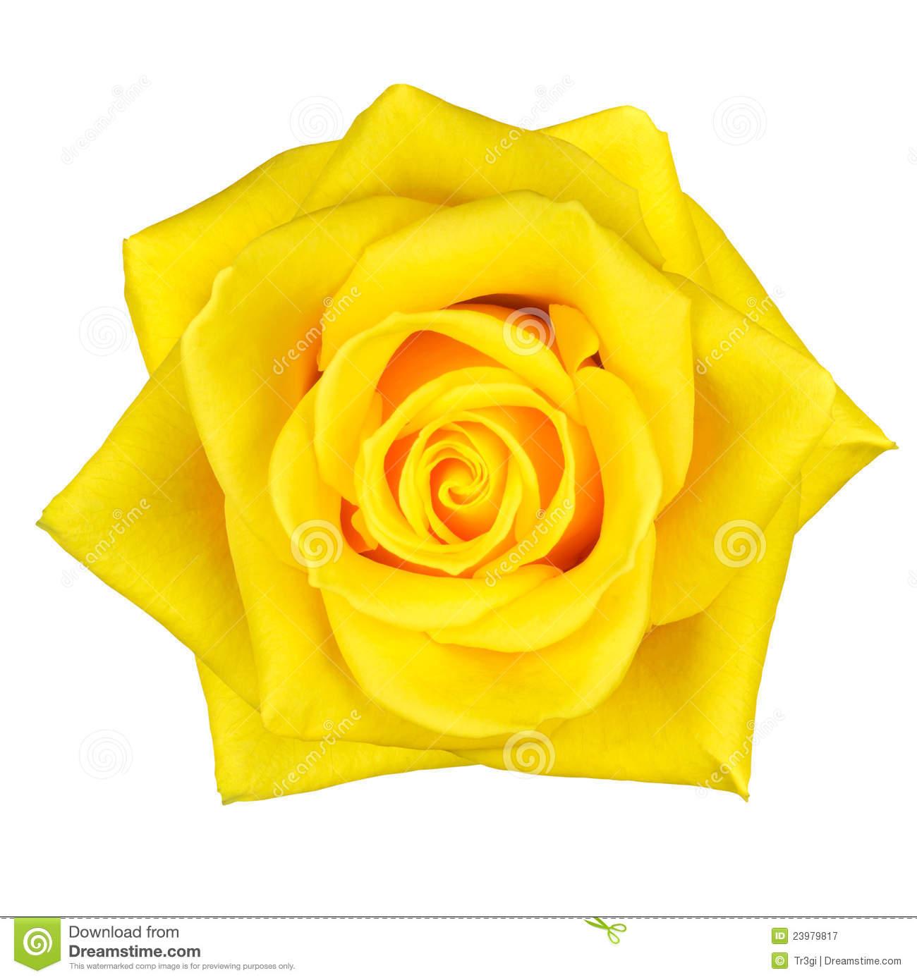 Yellow Rose Images Clip Art Beautiful Yellow Rose Flower