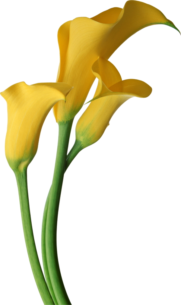 Yellow Transparent Calla Lilies Flowers Clipart