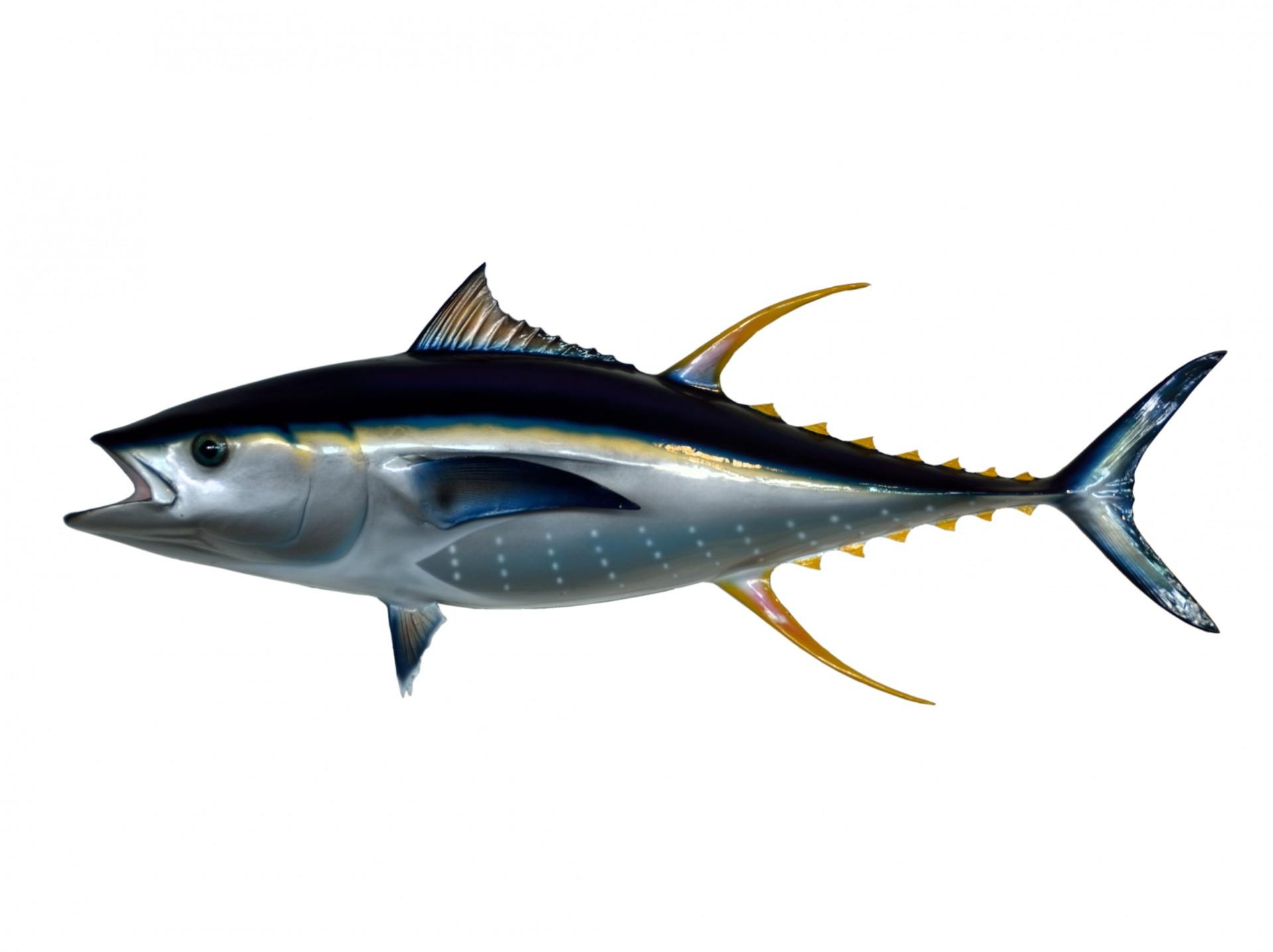 Yellowfin Tuna Underwater ...